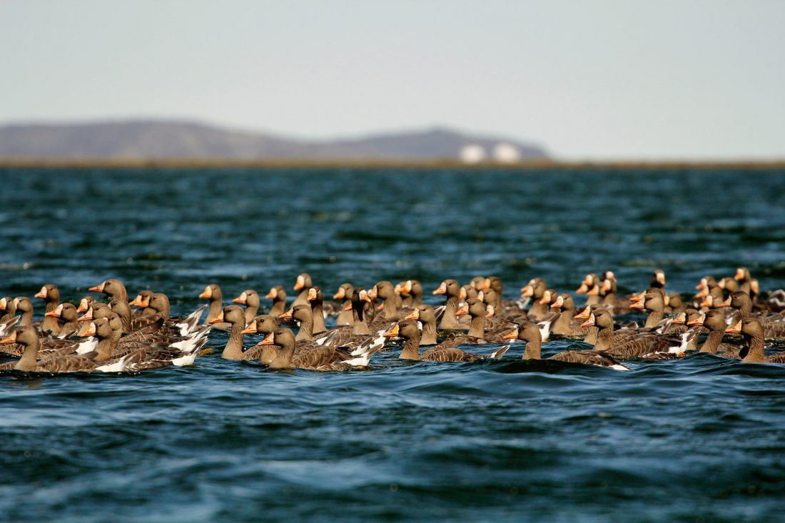 Greater White-fronted Geese © Nathan Clements