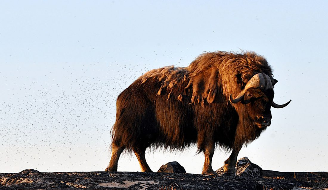 Muskox in camp © Nathan Clements