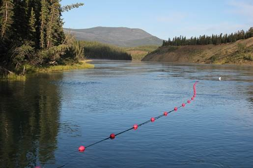 Gill nets are a highly effective method to capture migrating salmon for scientific purposes. When a salmon encounters the net, the buoys shake alerting researchers that a fish has been captured. The fish is quickly retrieved from the net, tagged with a tracking transmitter, and released back into the river.