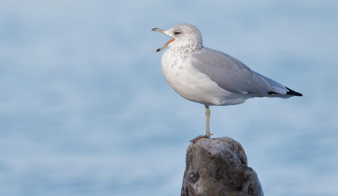 gull in ontario