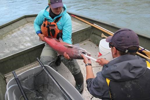 . Biologists from Canadian Wildlife Federation and Carcross/Tagish First Nation inserting an acoustic transmitter into the stomach of a Chinook salmon. These transmitters allow researchers to monitor the movement of an individual fish as it completes it spawning migration.