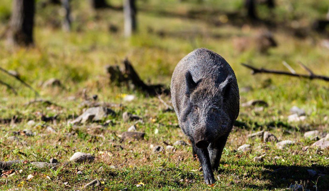 wild boar quebec