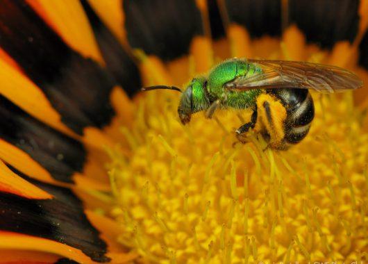 Bee on flower @Luis Portelles