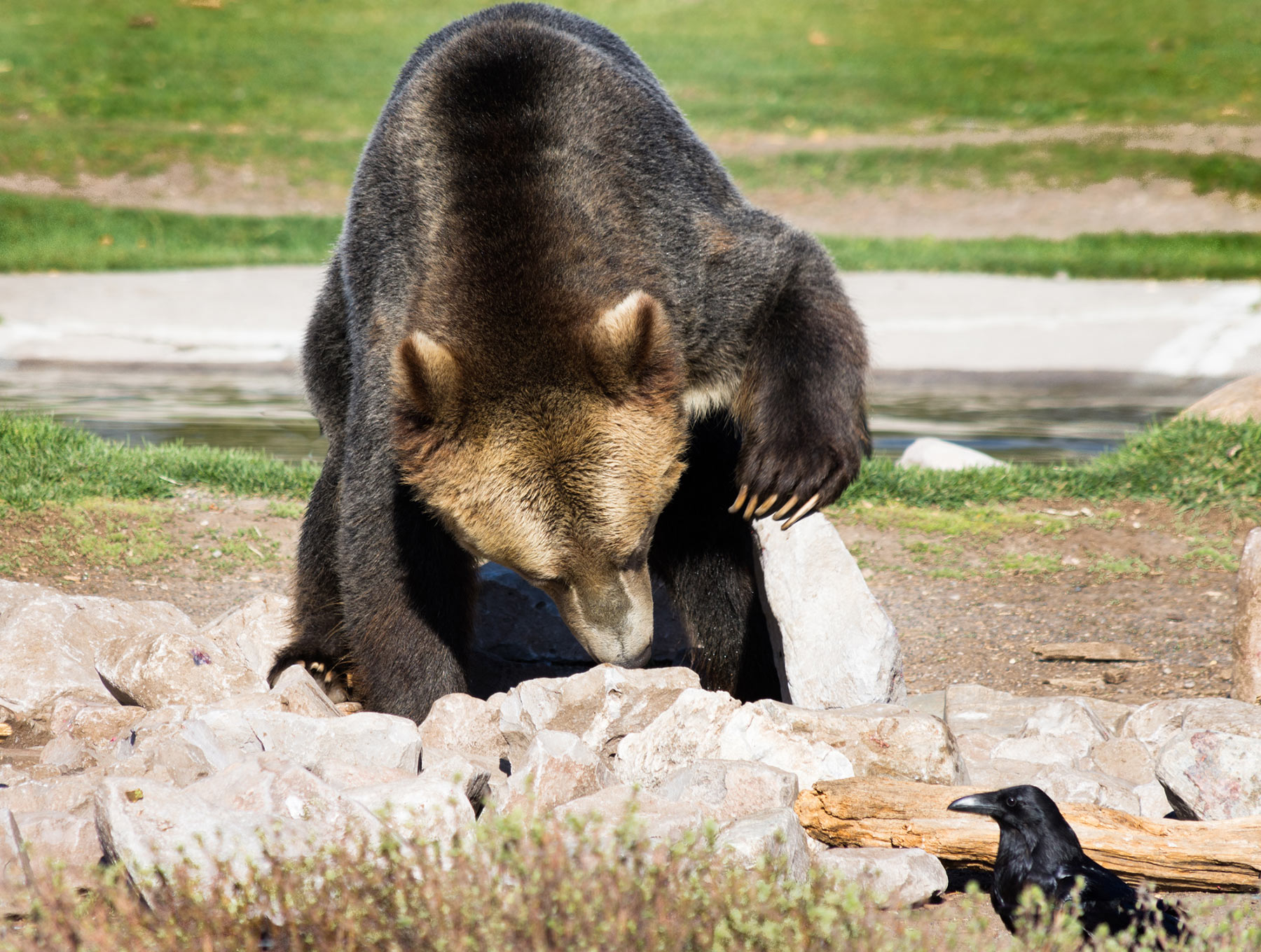 grizzly bear with corvid