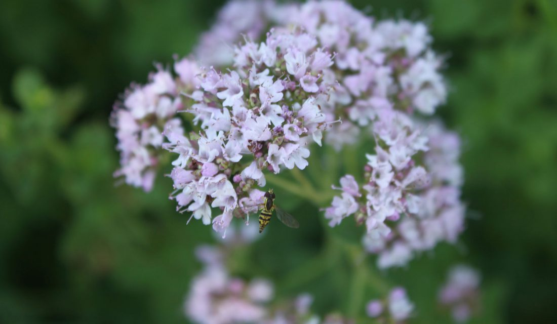 hoverfly herb