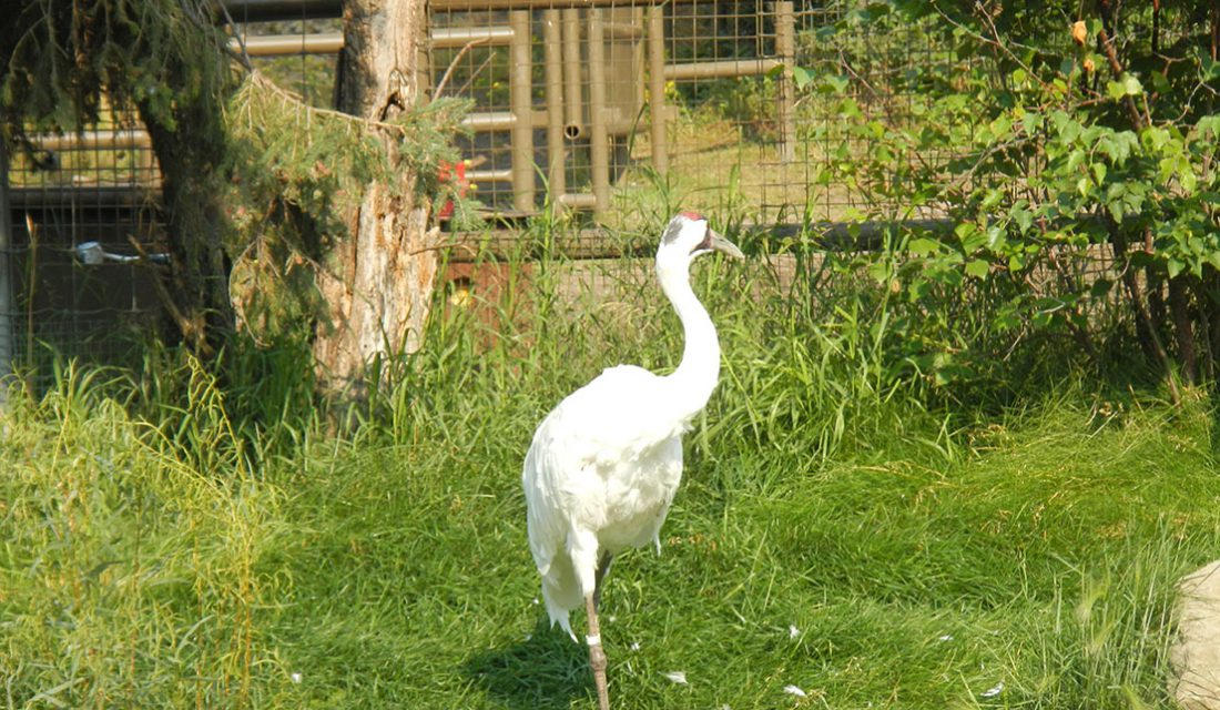 sandhill crane calgary zoo