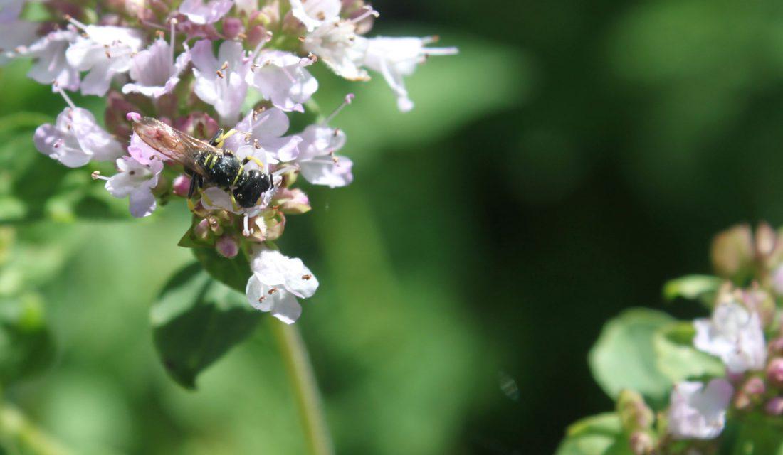 bee herb