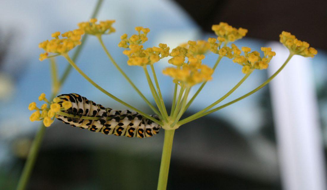 swallowtail caterpillar herb