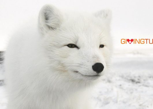 arctic fox giving tuesday