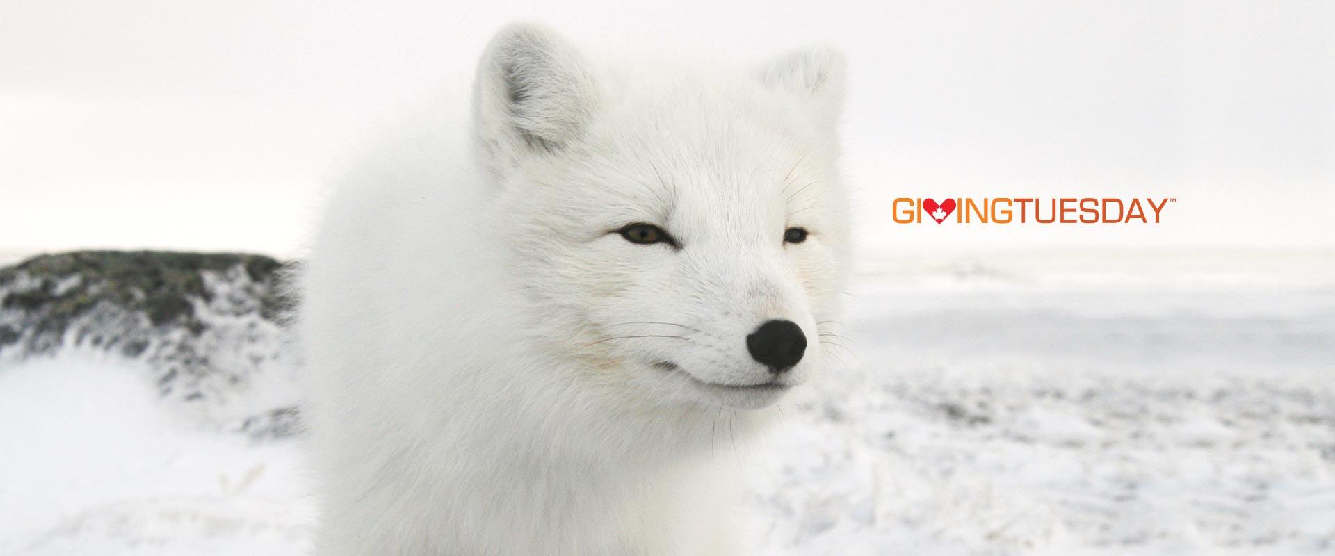 arctic fox giving tuesday
