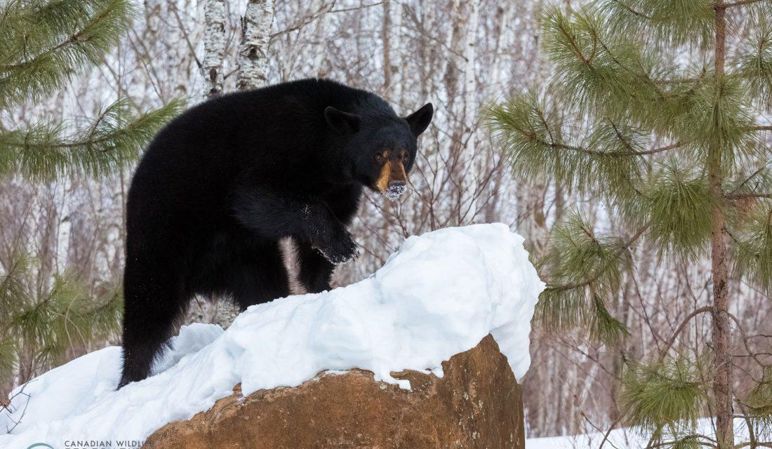 black bear winter