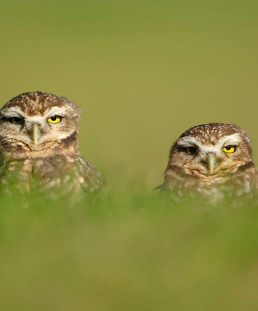 burrowing owl pair unamused