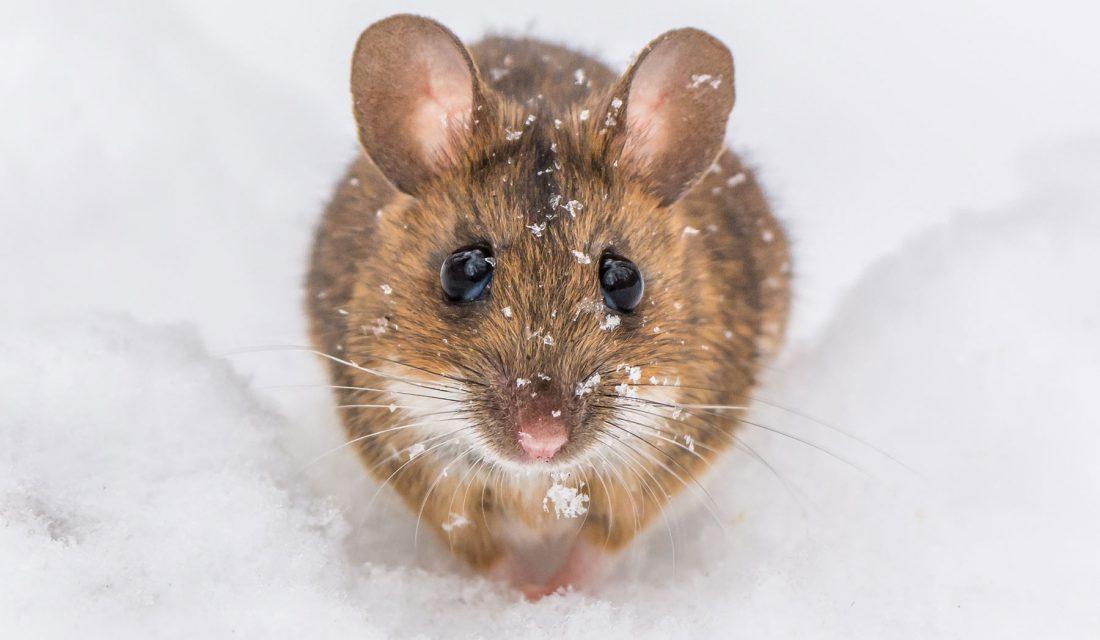 mouse snow