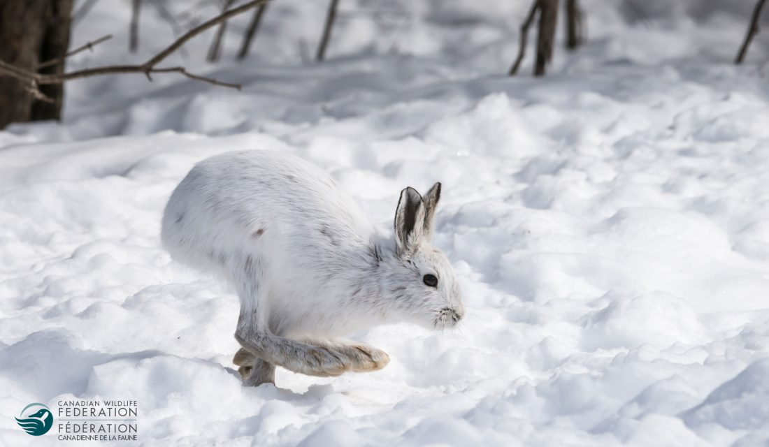 snowshow hare