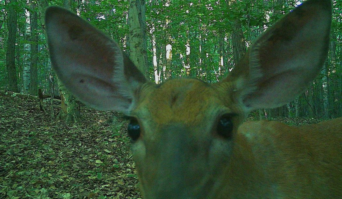 A deer inspecting on of our camera traps