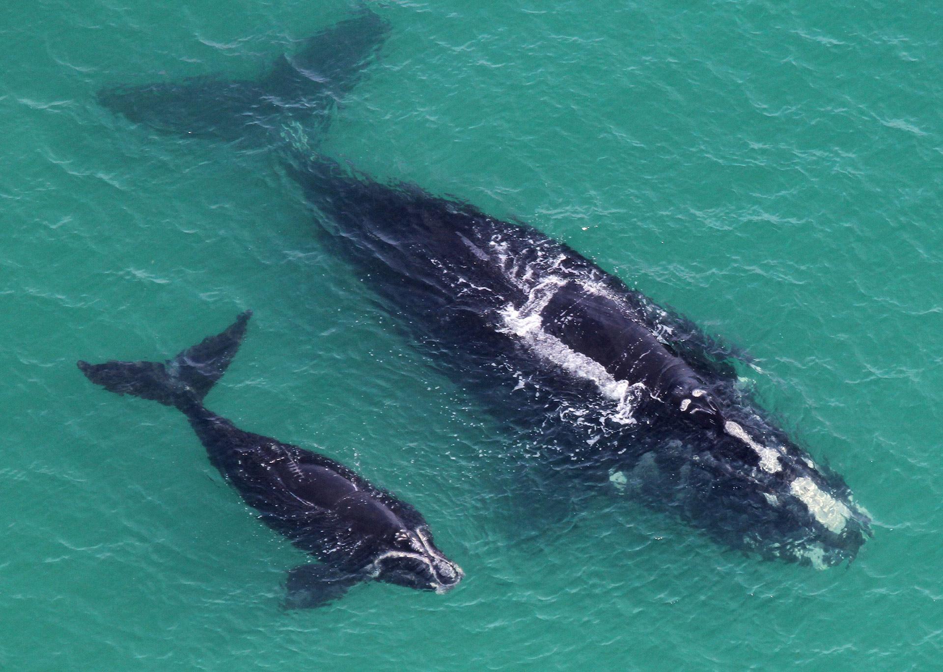 Un nouveau départ pour les baleines noires de l'Atlantique Nord?