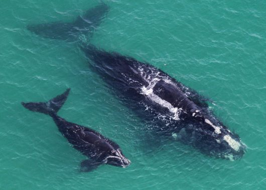 north atlantic right whale baby mom