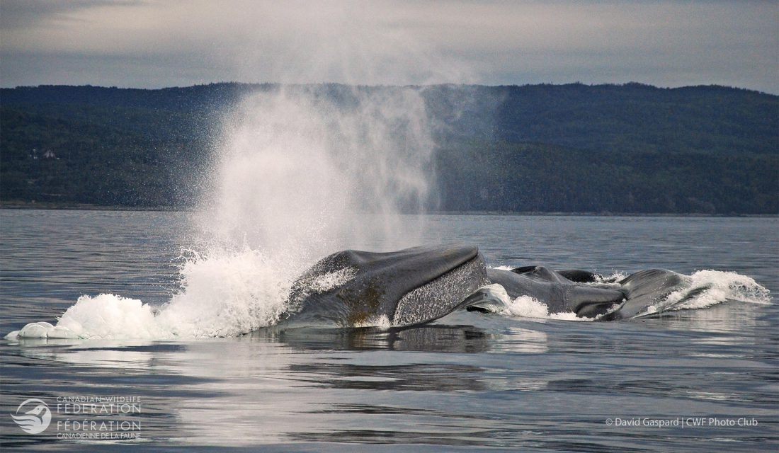 A trio of blue whales observed while showing an extraordinary and rare behavior. © David Gaspard   CWF Photo Club