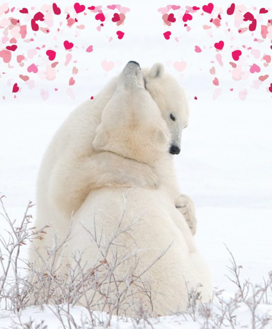 polar bears with hearts