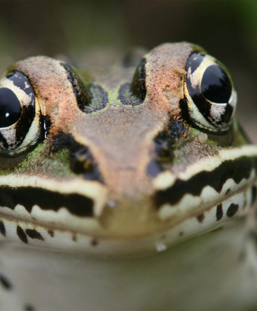 Leopard Frog @ David Neads