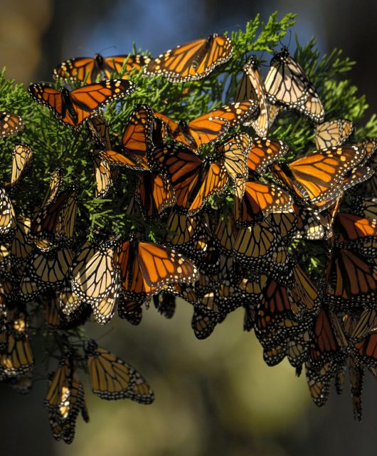western monarchs california