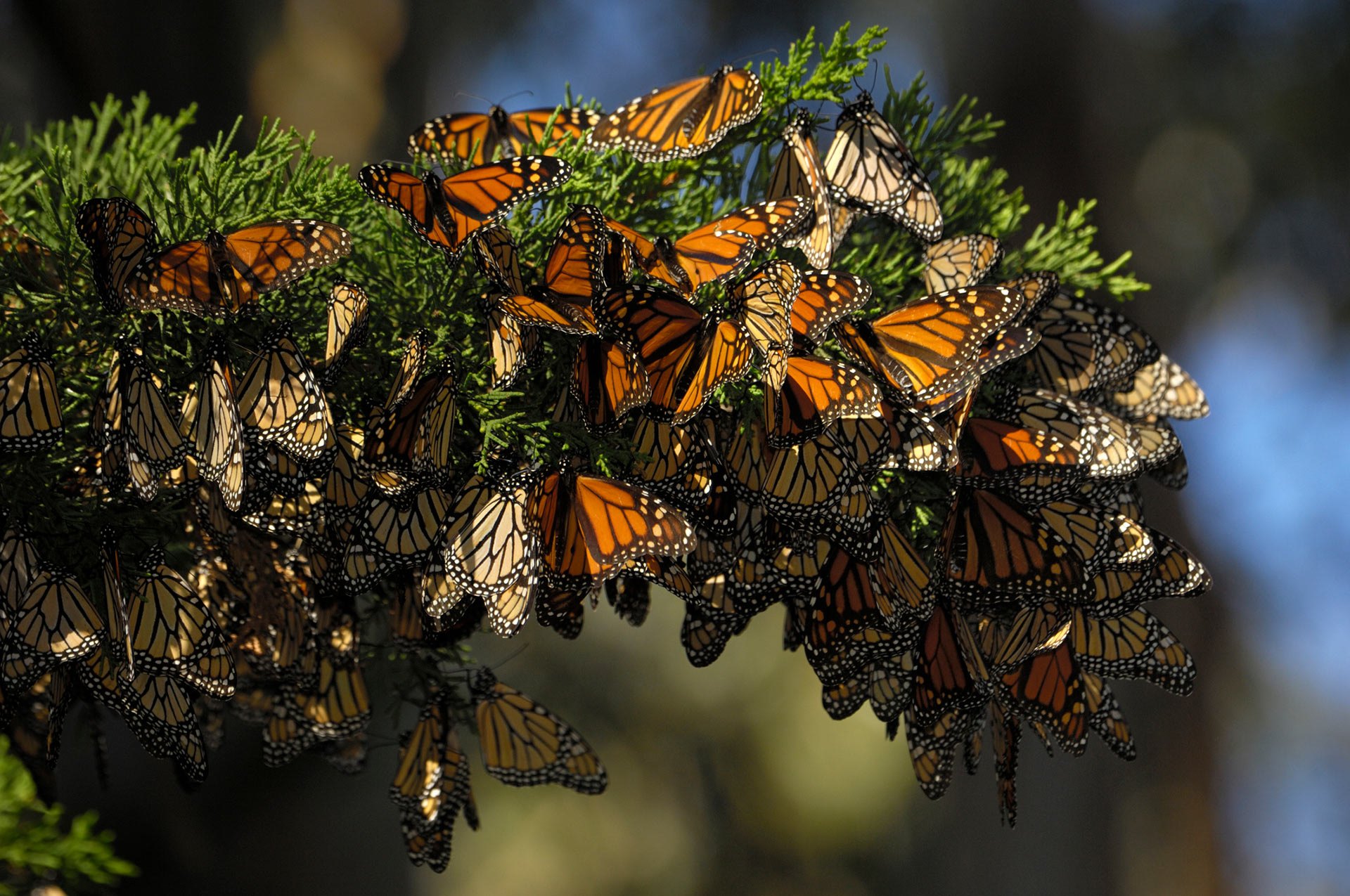 Devastating Downfall for Western Monarchs: A Harbinger of Things to Come?