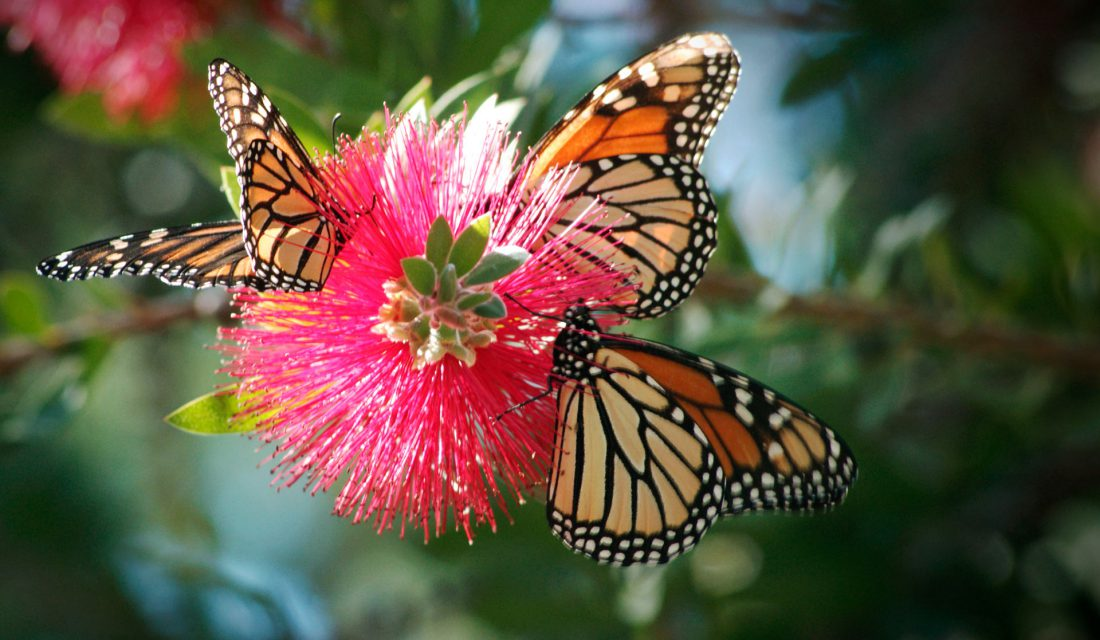 western monarchs on pink flower