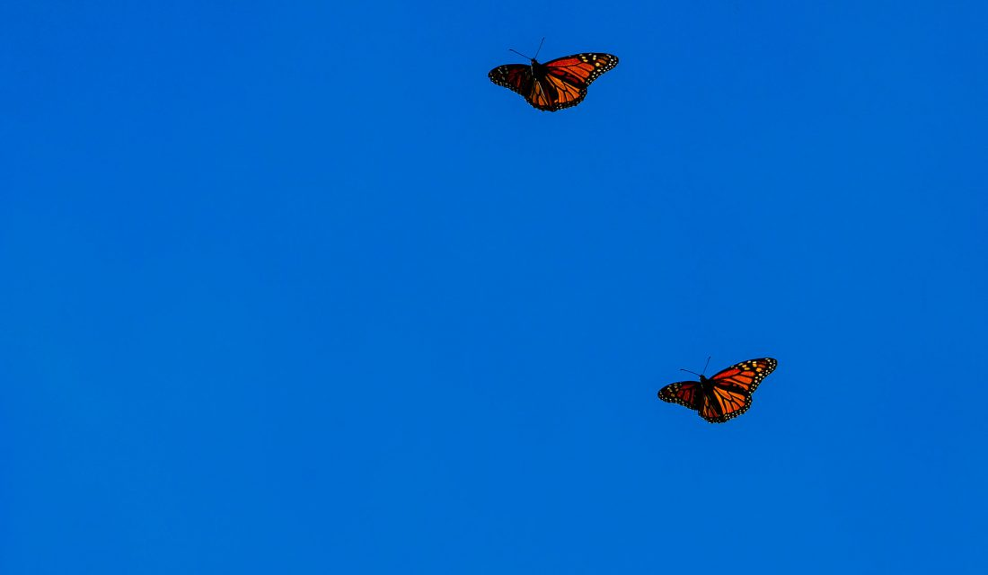 monarchs-flying-blue-sky