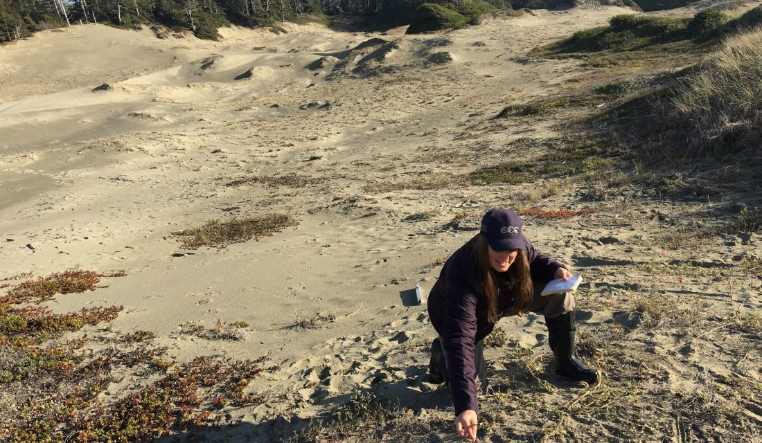 Measuring the fecundity of a Pink Sand Verbena plant. @Silvana Botros