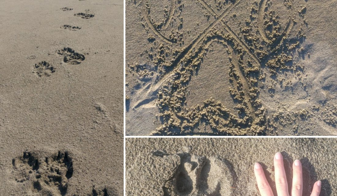 Arlene's drawing of a symmetrical wolf track along with real wolf tracks. Photo: Angela Rehhorn