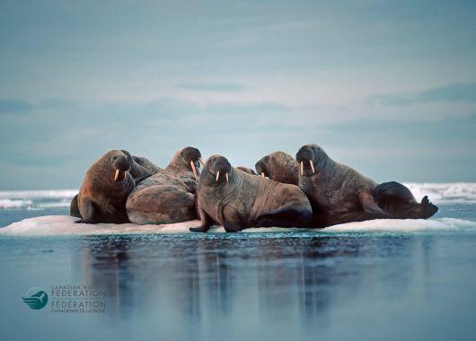 walrus ice floe arctic
