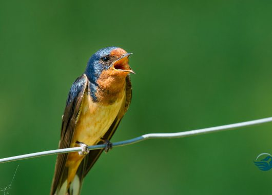 barn swallow hor