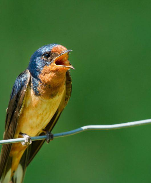 barn swallow hor