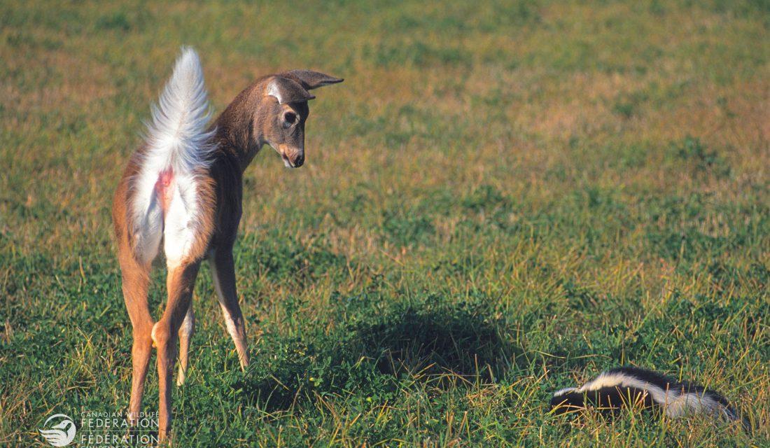 fawn deer and skunk