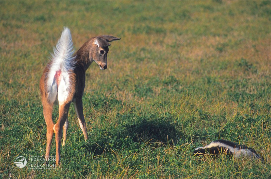fawn deer and skunk