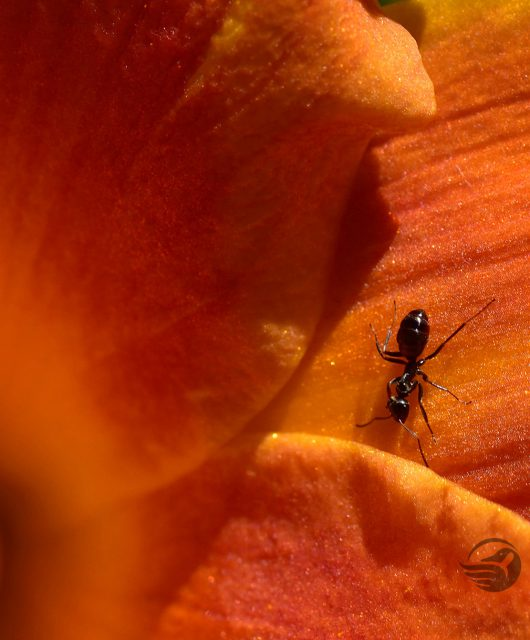 tiger lily ant