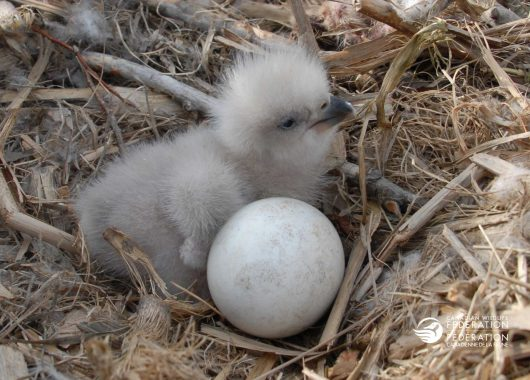 eagle chick nest