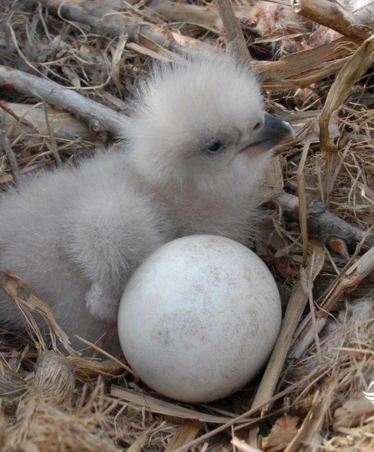 eagle chick nest