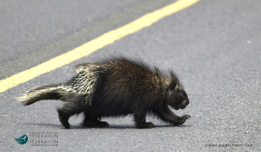 porcupine crossing road © Donna Dolby