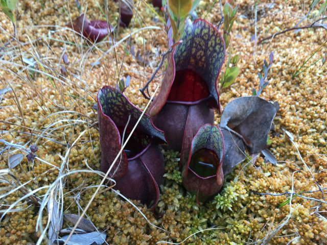 Purple Pitcher Plant | Photo bigmdc