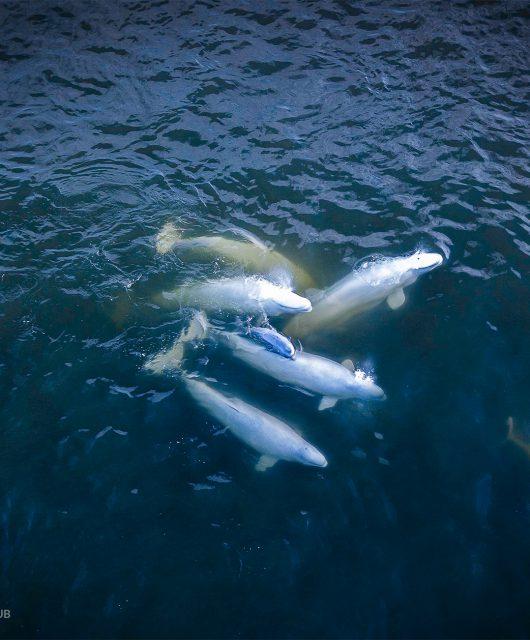 Beluga pod | Photo: Shafik Diwan, CWF Photo Club