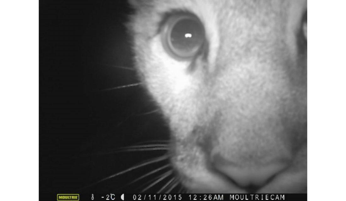 Cougar   Photo by kokanee