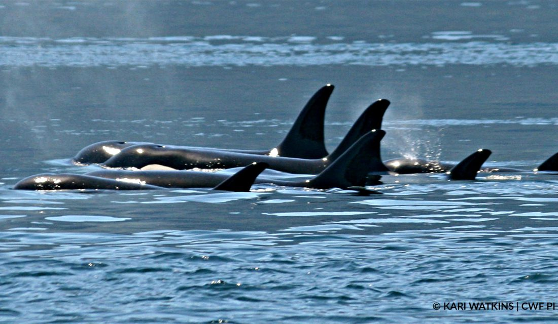 killer whales | Photo: Kari Watkins, CWF Photo Club