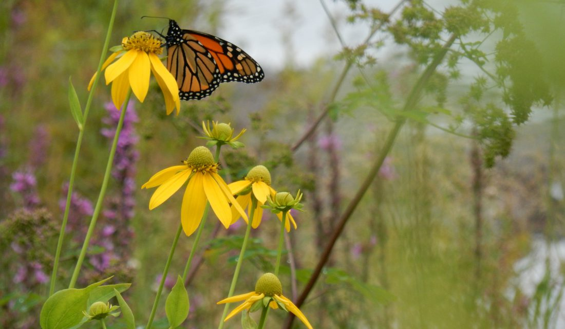 Monarch | Photo james_cwf
