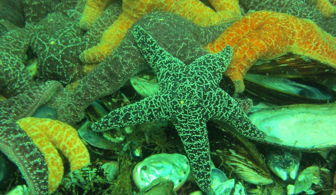 Ochre Sea Star   Photo imcote