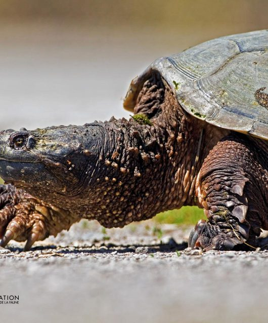 snapping turtle crossing road @Ted Busby