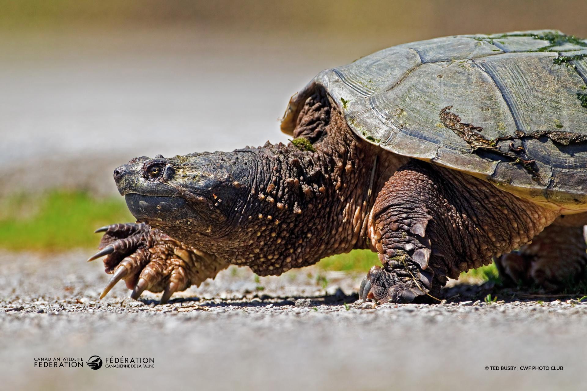 Pourquoi cette tortue a-t-elle traversé la route?