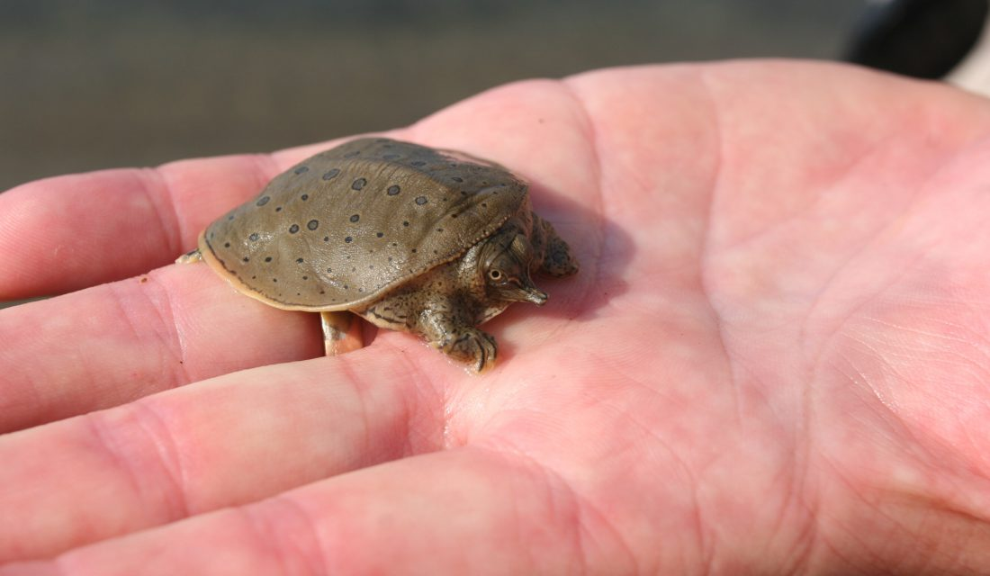 Spiny Softshell Turtle | Photo Samuel Brinker