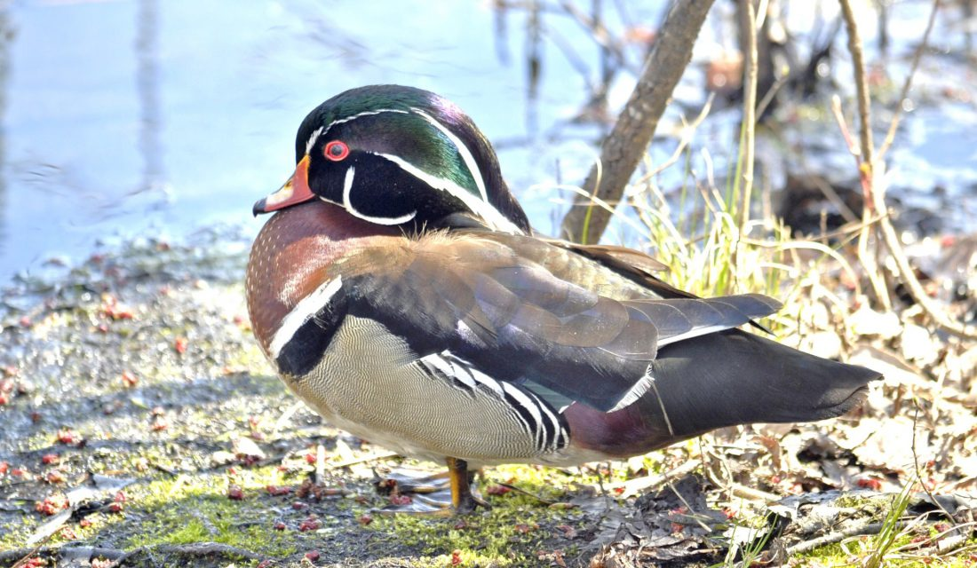 Wood Duck | Photo jaliya