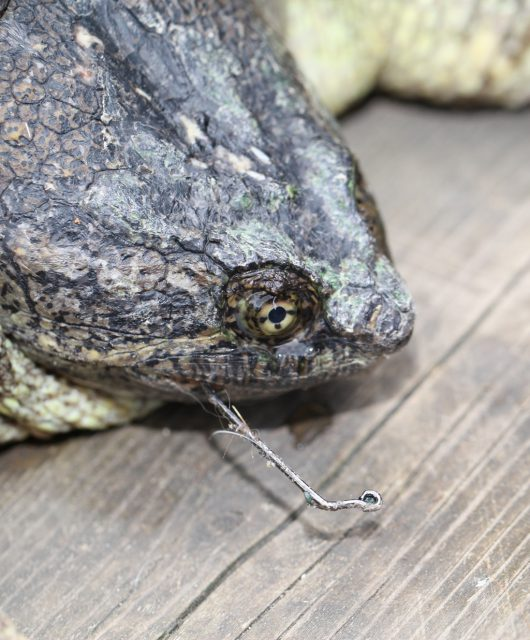 Snapping Turtle caught on a fishing hook © Scott Gillingwater